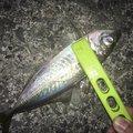 らいとさんの鳥取県岩美郡での釣果写真