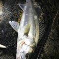たむたむさんの新潟県新潟市での釣果写真