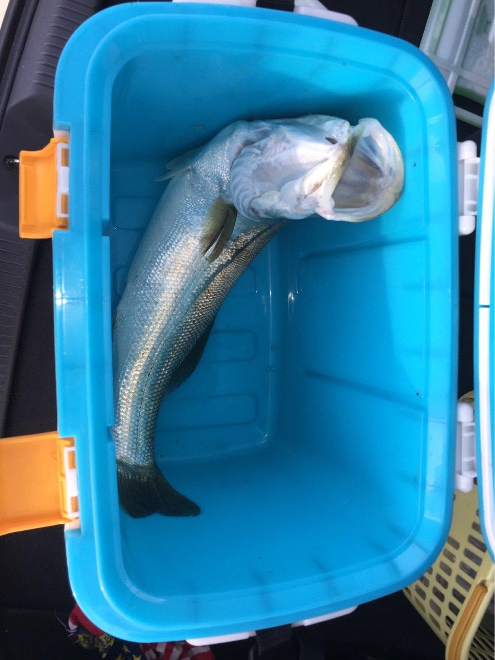 000010さんの投稿画像,写っている魚はスズキ
