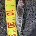 たくみさんの北海道伊達市での釣果写真