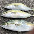 サイトさんの徳島県小松島市での釣果写真