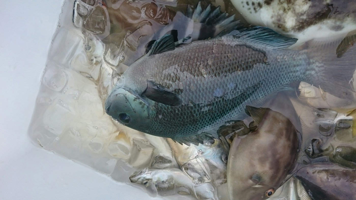 TYさんの投稿画像,写っている魚はメジナ