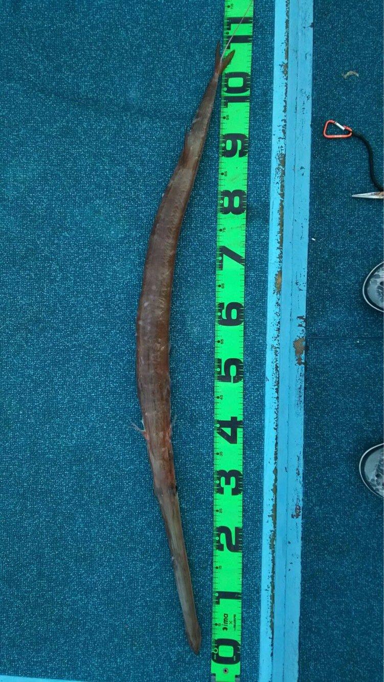 磯太郎さんの投稿画像,写っている魚はアカヤガラ