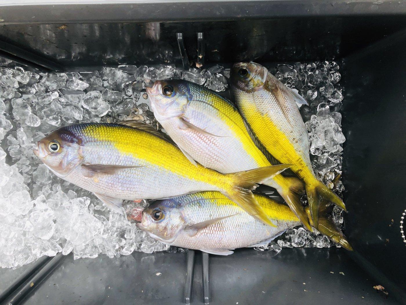 薩摩 遊漁船団 糸さんの投稿画像,写っている魚はウメイロ