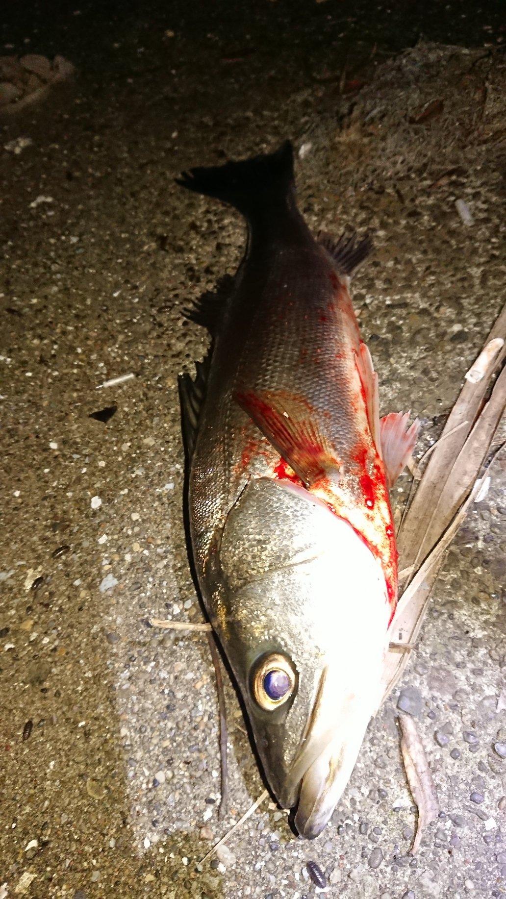 マンボウさんの投稿画像,写っている魚は,クロダイ