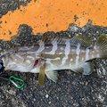 ひろぴーさんの和歌山県新宮市での釣果写真