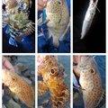 KRO さんの静岡県沼津市でのオオモンハタの釣果写真