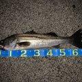 ツリッチさんの千葉県船橋市での釣果写真
