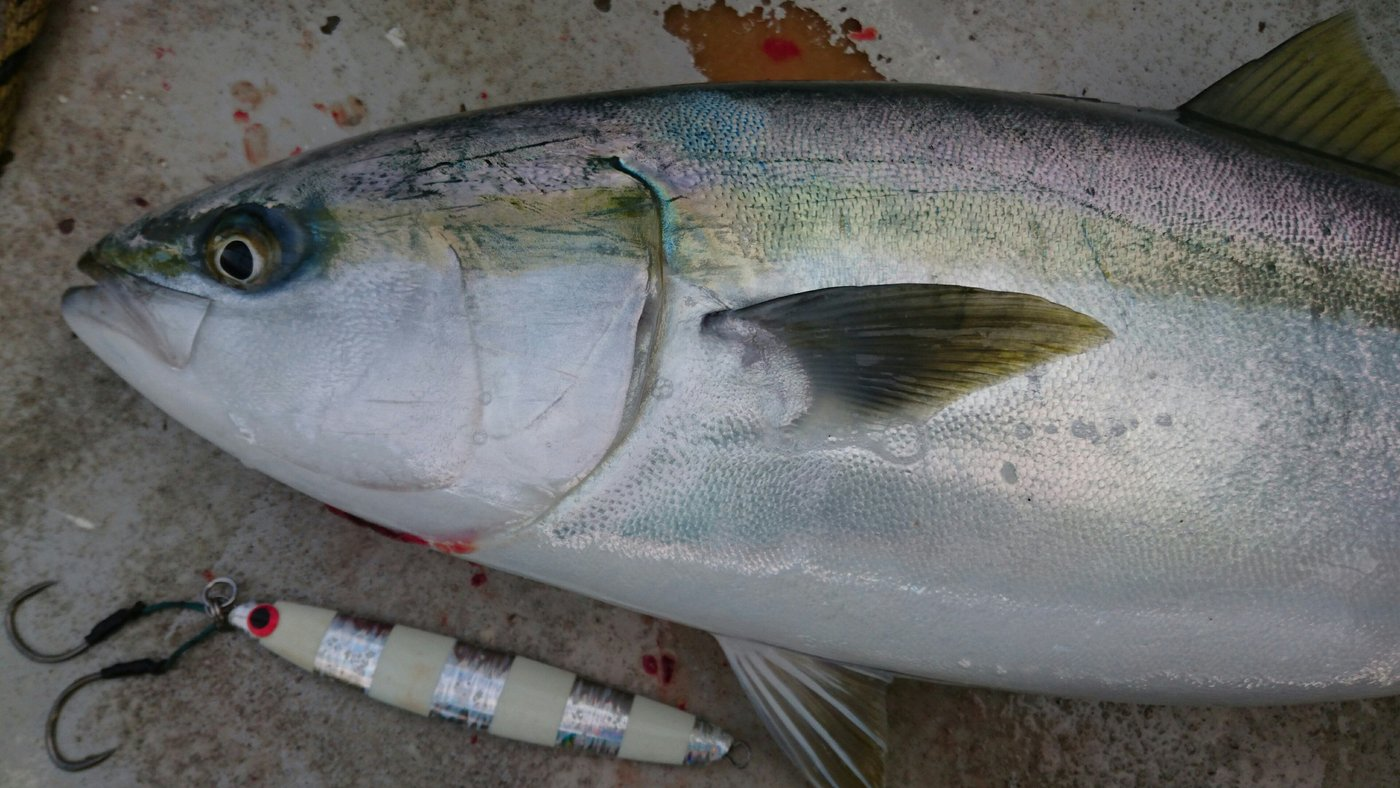 ツカサさんの投稿画像,写っている魚はブリ