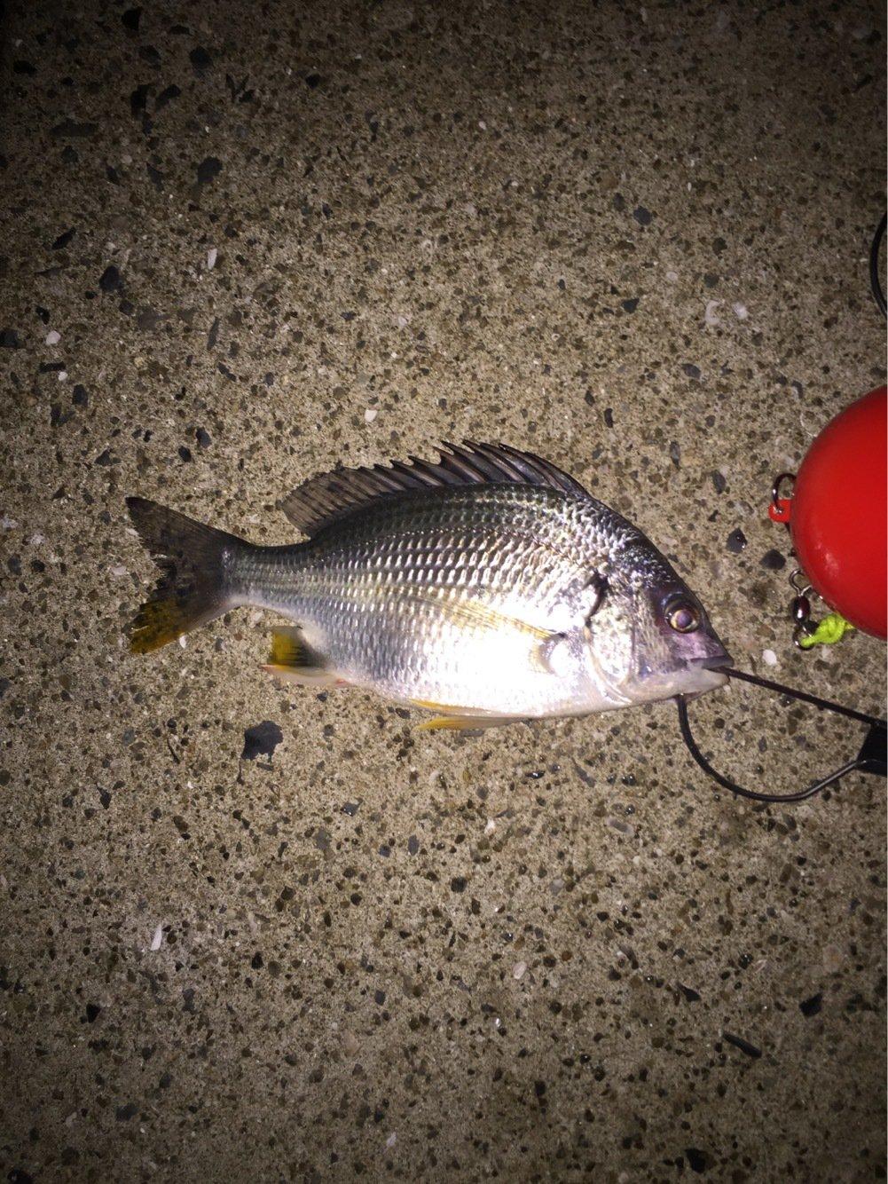 パーマン1号さんの投稿画像,写っている魚はクロダイ