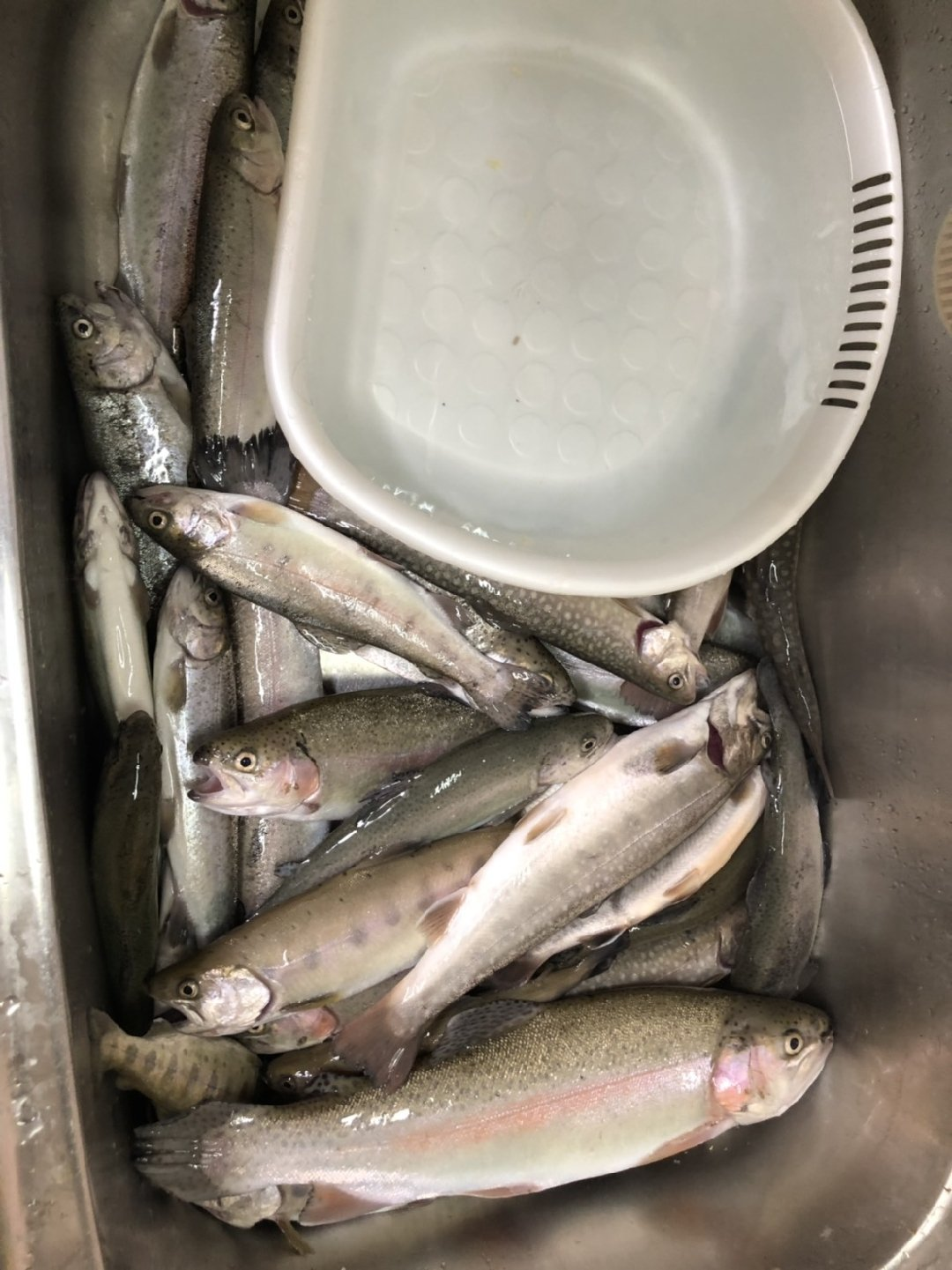 higuさんの投稿画像,写っている魚はヤマメ,イワナ,ニジマス