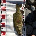 すらおさんの新潟県魚沼市での釣果写真