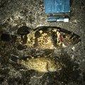 CQCQさんの愛知県でのタケノコメバルの釣果写真