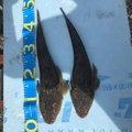 Marley 07さんの宮城県多賀城市での釣果写真