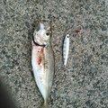 まごちさんの鳥取県境港市での釣果写真