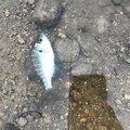 YUKAさんの山形県での釣果写真