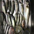 山中渉さんの広島県廿日市市での釣果写真