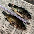 カルピスさんの広島県三原市での釣果写真