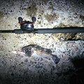 ゆう@粗製さんの青森県五所川原市での釣果写真