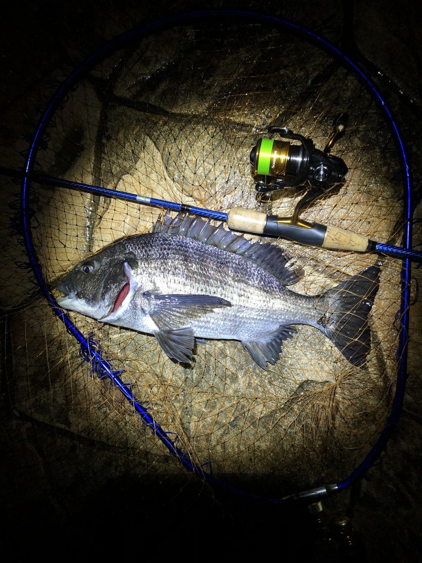 ビギナー釣り師さんの投稿画像,写っている魚はクロダイ