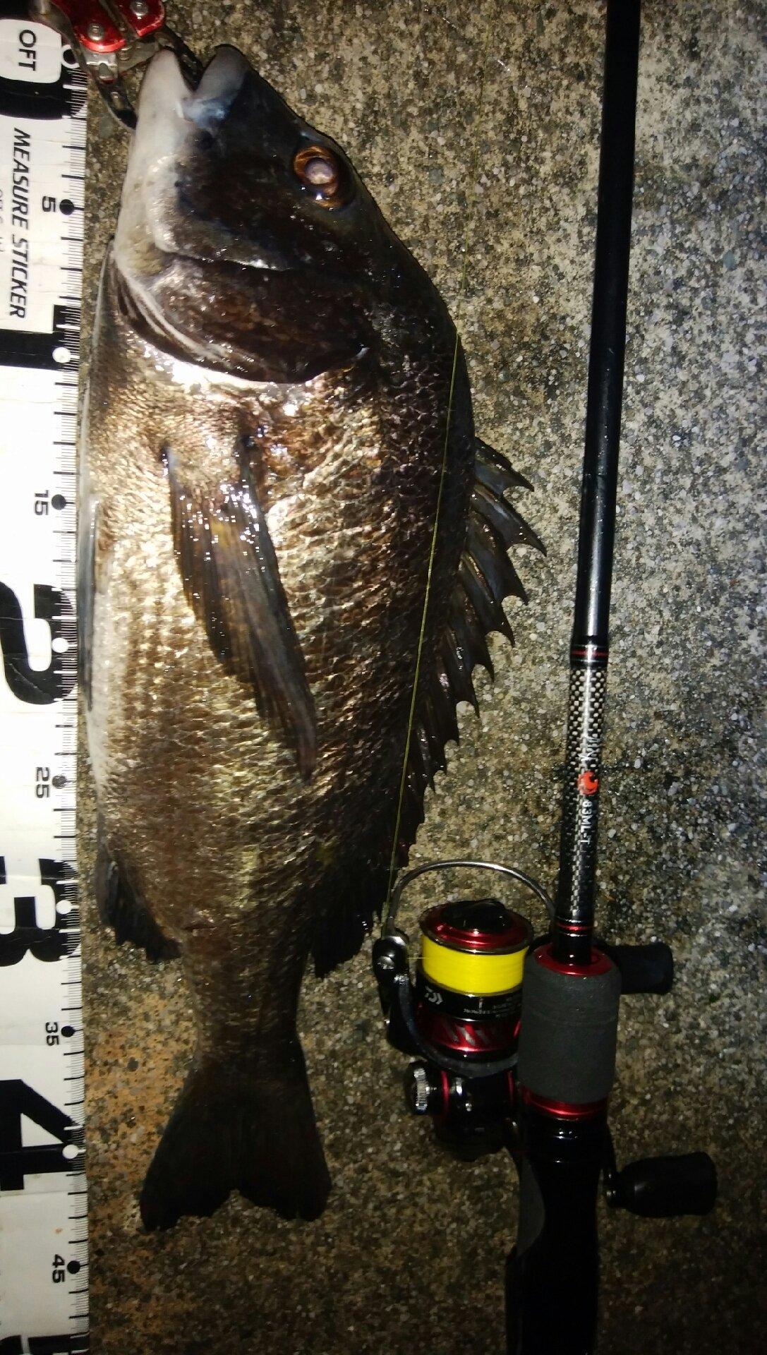 穴吹あきひろさんの投稿画像,写っている魚はクロダイ