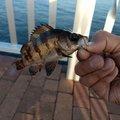 たろさんの福島県での釣果写真