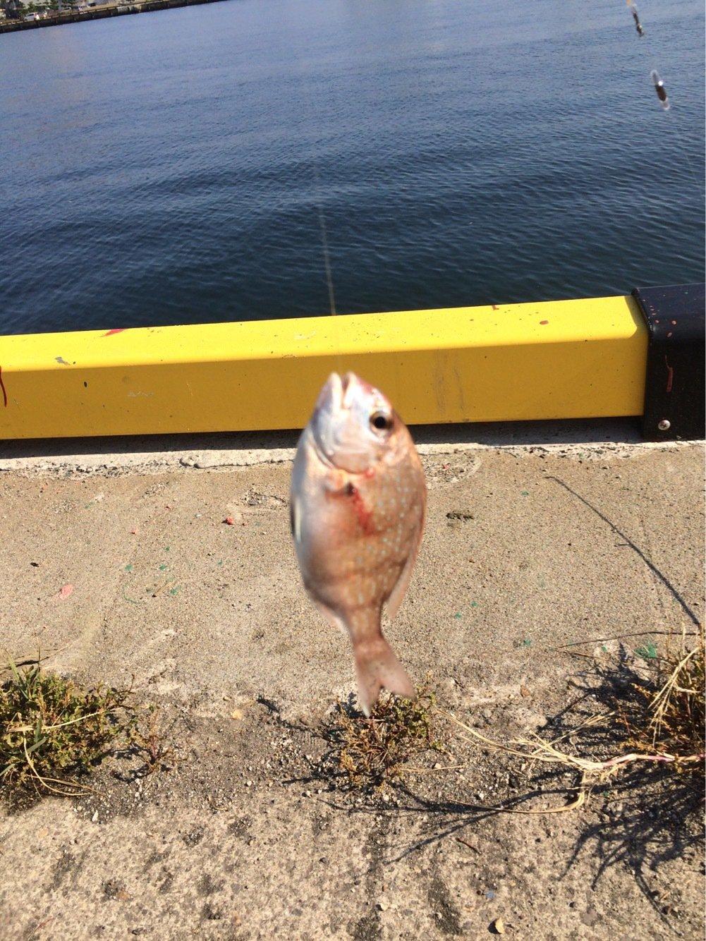 Ryuさんの投稿画像,写っている魚はチダイ