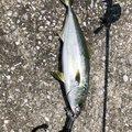 にゃん丸太郎さんの大分県での釣果写真