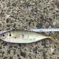 ジグ太郎さんの島根県益田市での釣果写真