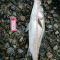 杉田寿限無さんの秋田県能代市での釣果写真