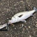 シャクラーMさんの新潟県新潟市での釣果写真