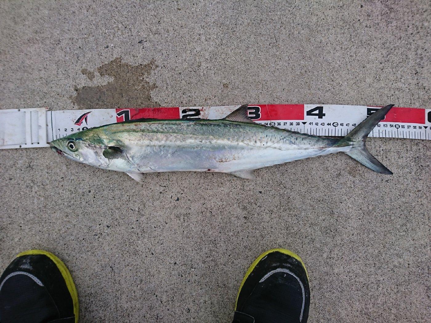 MWAMさんの投稿画像,写っている魚はサワラ