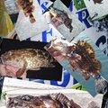 snufkin49さんの兵庫県神戸市でのカサゴの釣果写真