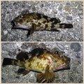 アブさんの兵庫県でのカサゴの釣果写真