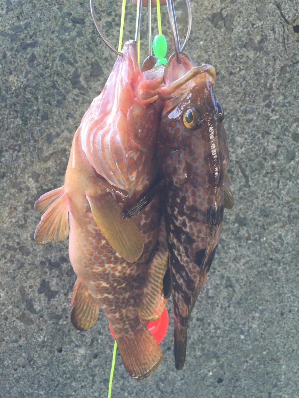 フルフルさんの投稿画像,写っている魚はキジハタ