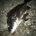 カッキーさんの富山県射水市での釣果写真