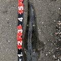 み様さんの千葉県富津市での釣果写真