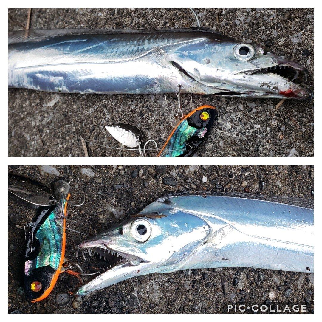ちんたろうさんの投稿画像,写っている魚はタチウオ