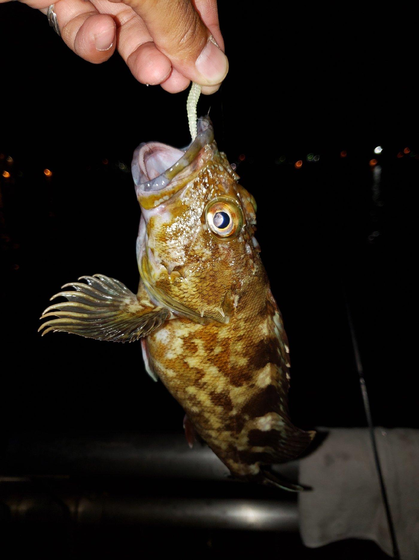 M-SKYさんの投稿画像,写っている魚はシロカサゴ