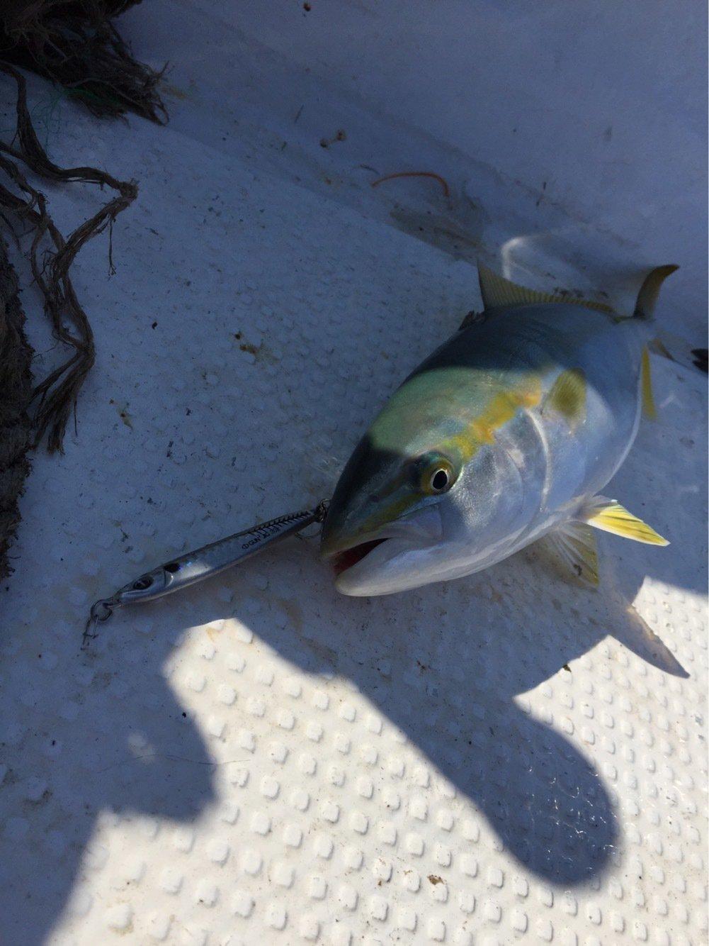 ひがし三重さんの投稿画像,写っている魚はブリ