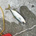 ゆーや(新)さんの和歌山県海南市での釣果写真
