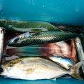 あらかぶさんの高知県での釣果写真