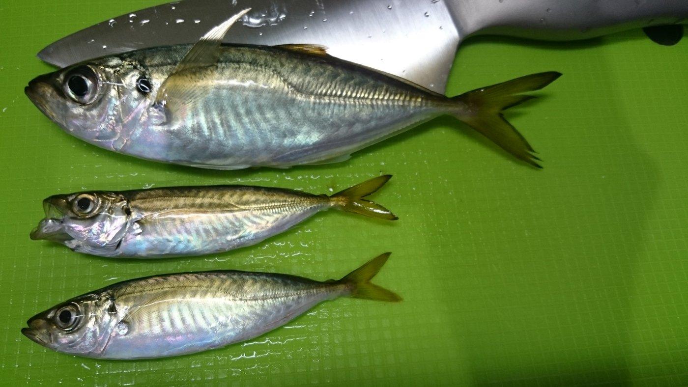 かおり@釣り初心者🔰さんの投稿画像,写っている魚はアジ