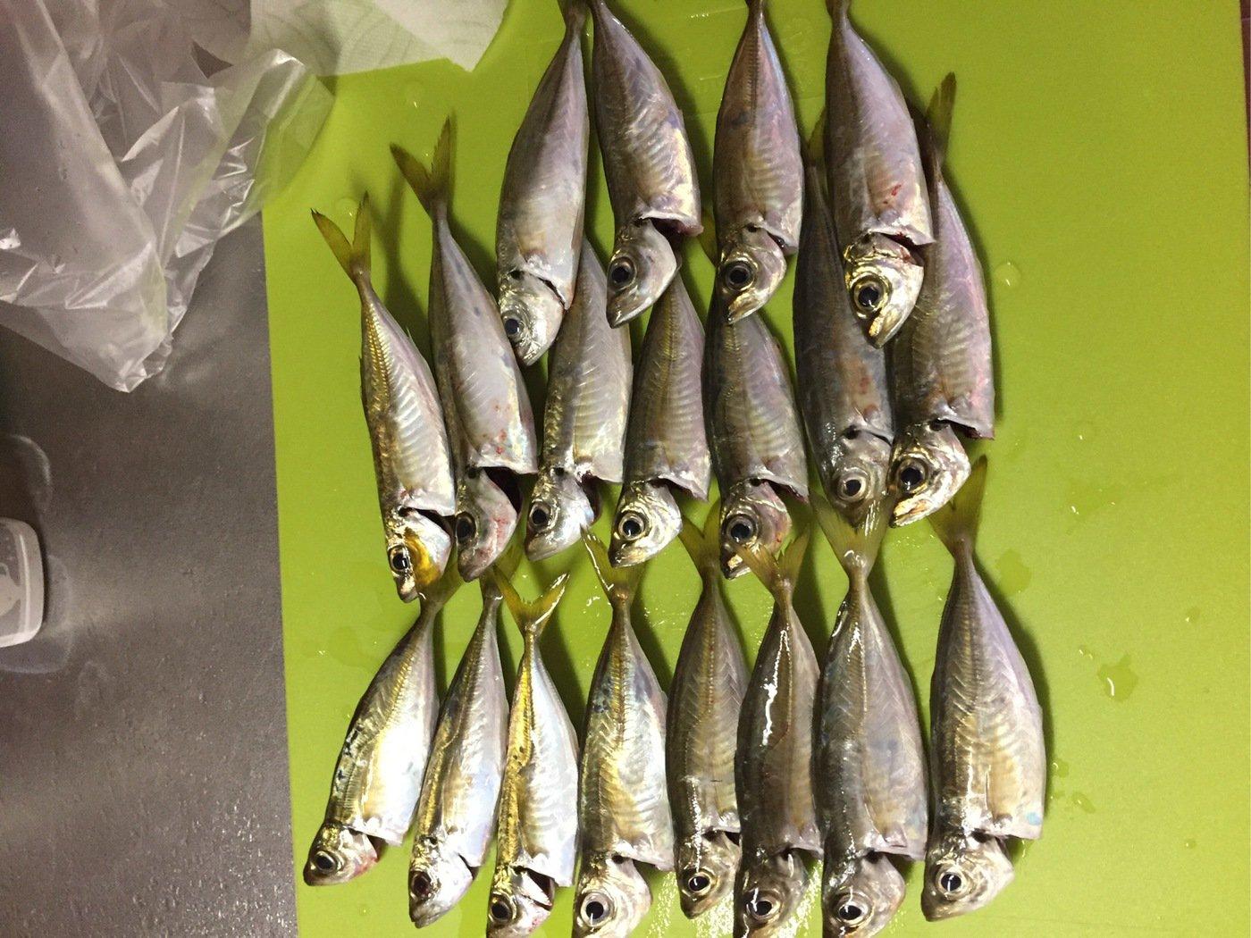 タローさんの投稿画像,写っている魚はアジ