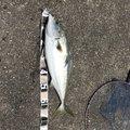 パムスさんのワラサの釣果写真