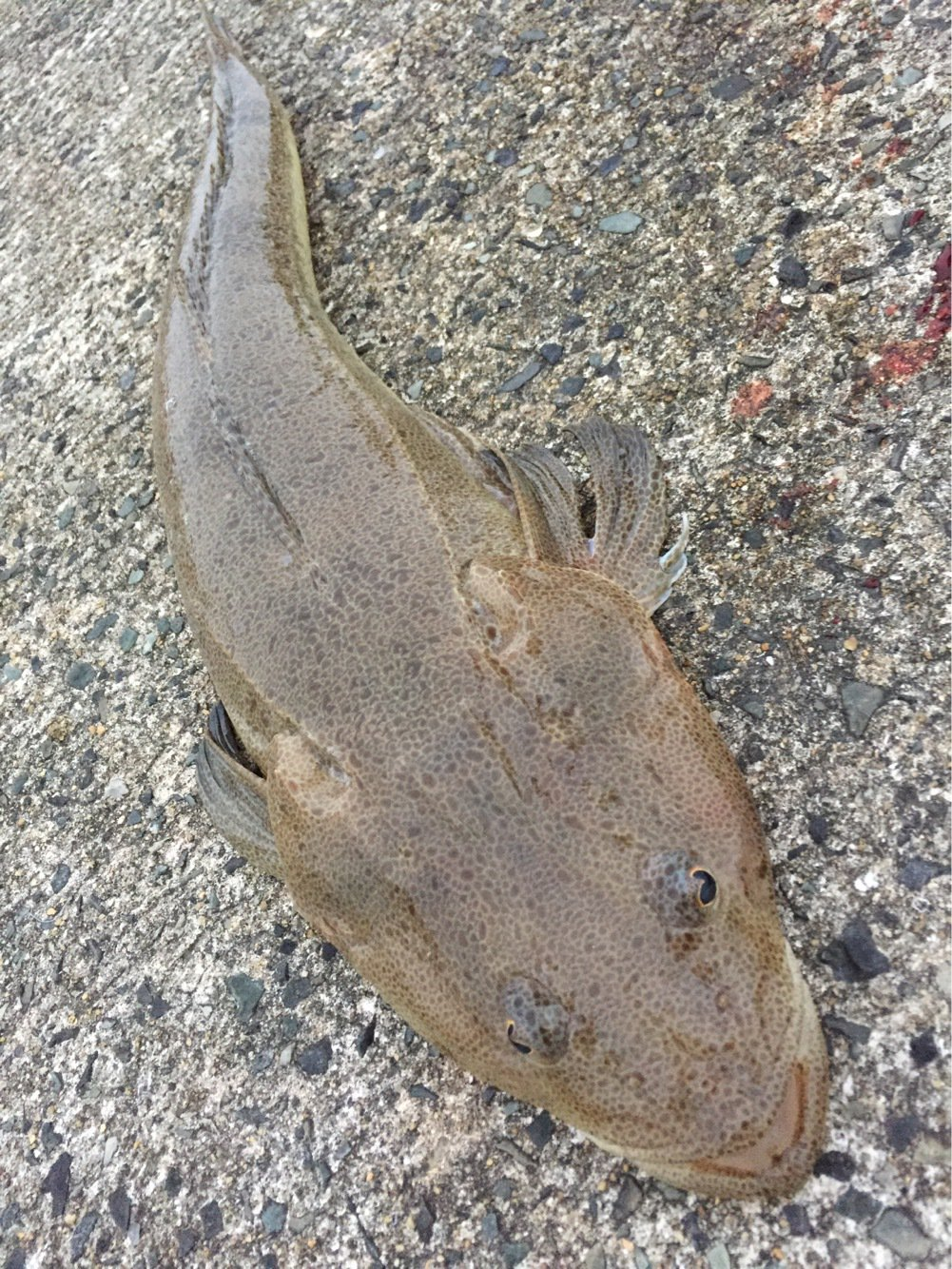 シュウさんの投稿画像,写っている魚はコチ