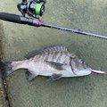 ノロリさんの和歌山県有田市での釣果写真