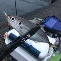 カズピトさんの兵庫県尼崎市での釣果写真