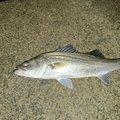 たつのすけさんの新潟県新潟市での釣果写真