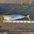ばくばくさんの愛媛県伊予市での釣果写真